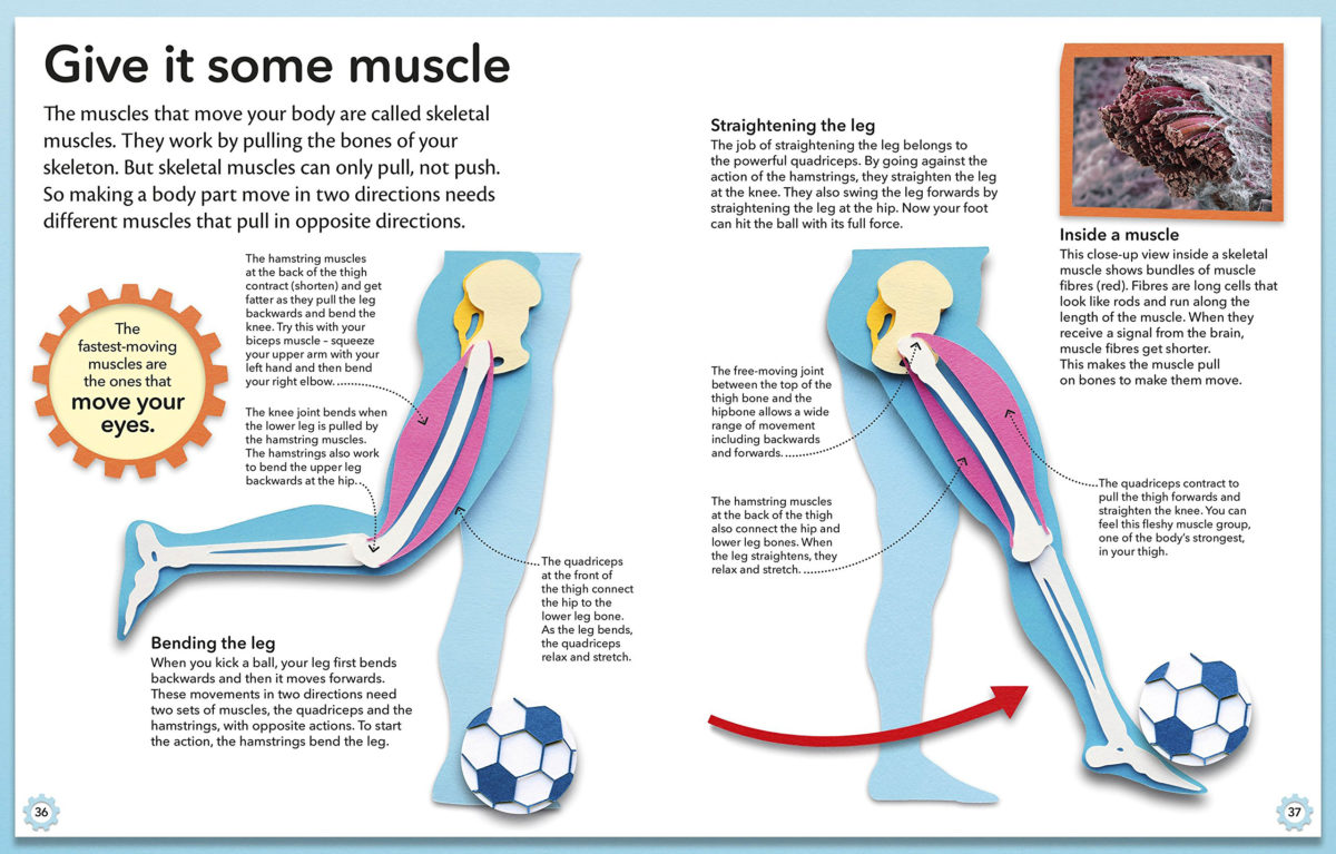 Hamstring Relaxed Diagram Diy Wiring Diagrams